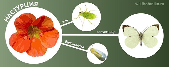 Настурция от белокрылки, тли, капустницы