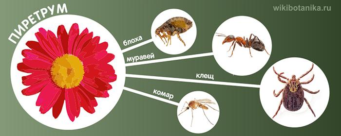 Пиретрум от блох, клещей, комаров, муравьев