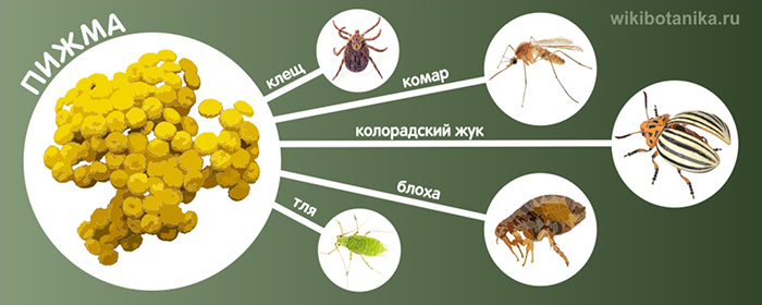 Пижма от комаров, клещей, блох, колорадского жука, тли