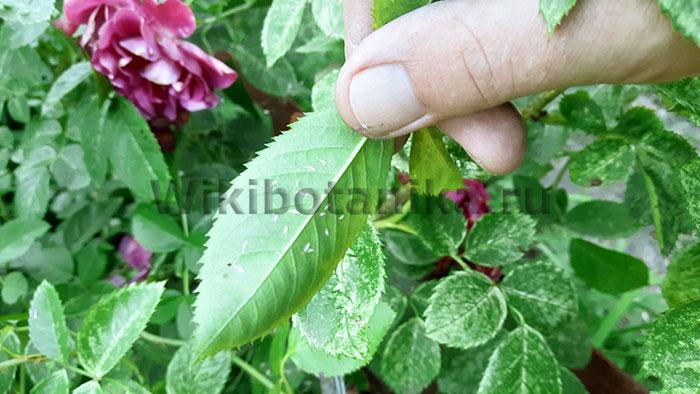 Розанная цикадка фото
