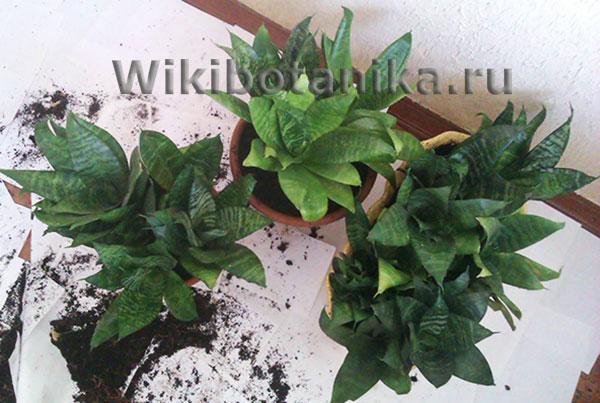 Высадка растения