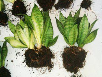 Сансевиерия – размножение делением корня