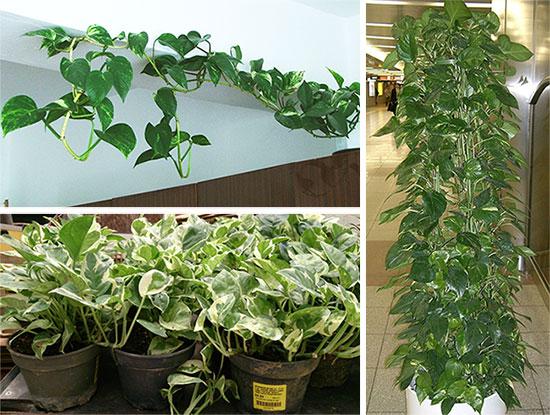 Оформление сциндапсуса в виде ампельного растения и на опоре
