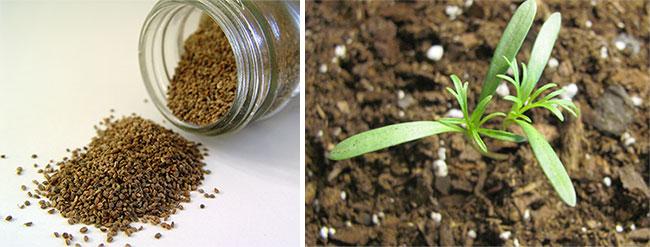 Семена комнатных растений, как выращивать