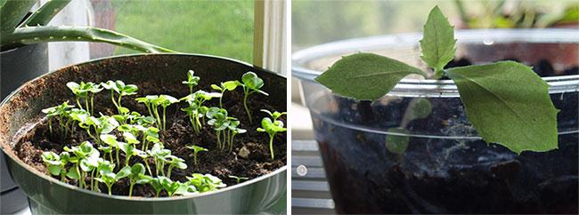 Ростки из семян комнатных растений