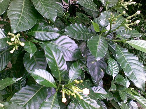 листья табернемонтаны