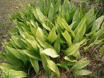 Теневыносливые домашние растения