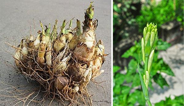 Луковица и росток тубероза