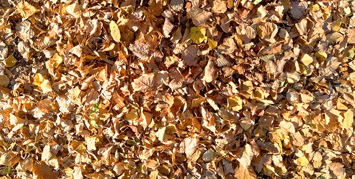 Опавшая осенняя листва, убирать или оставить