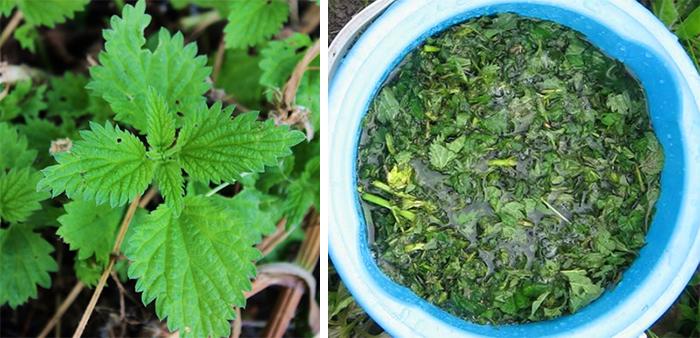 Крапивное удобрение для растений
