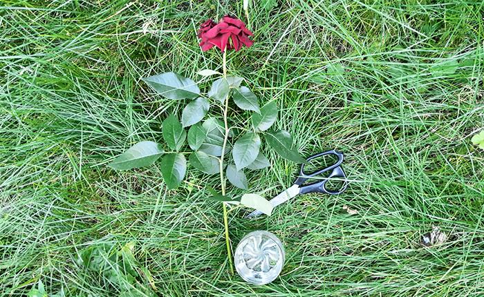 Укоренение розы из букета в домашних условиях