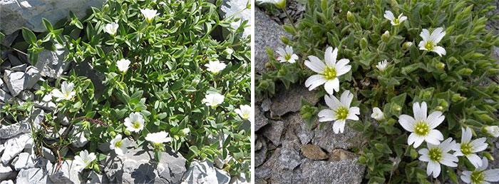 Ясколка альпийская и крупноцветковая