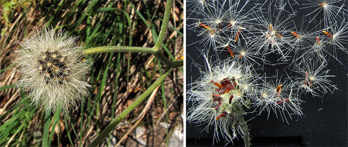 Семена ястребинки