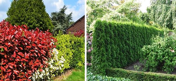 Листопадные и вечнозеленые растения для живой изгороди